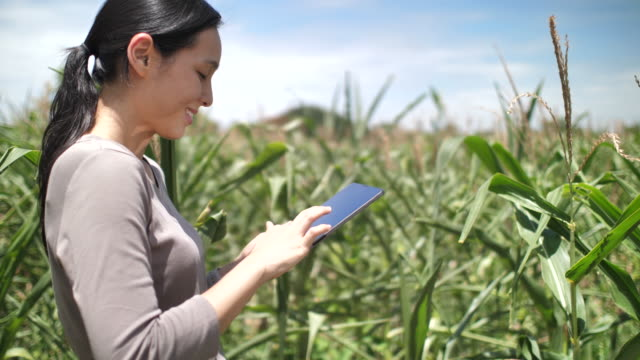 female farmer with digital tablet examining corn in idyllic - responsibility stock videos & royalty-free footage