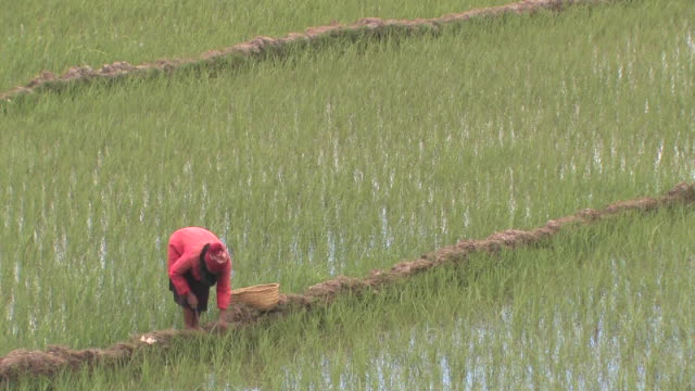 MS, Female farmer working in rice paddy, Toamasina Province, Madagascar