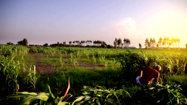 female farmer working in the field - sorghum stock videos & royalty-free footage
