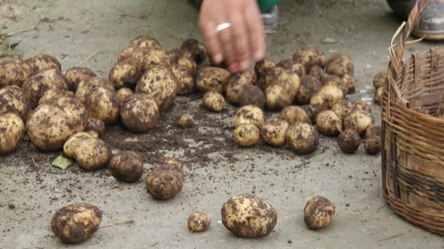 female farmer's hand sorting and cleaning the mud out of freshly harvested potatoes - farmer stock videos & royalty-free footage
