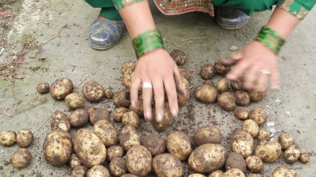 female farmer's hand sorting and cleaning the mud out of freshly harvested potatoes - farm worker stock videos and b-roll footage
