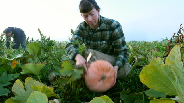 MS Female farmers harvesting organic squash with coworkers in field on fall morning