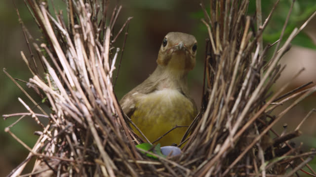 female flame bowerbird examines male's bower - female animal stock videos & royalty-free footage