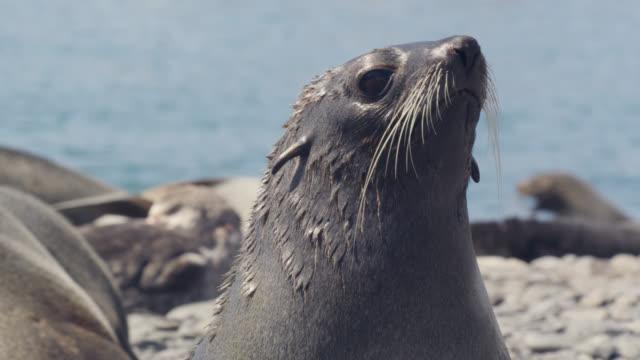 vídeos y material grabado en eventos de stock de female fur seal looks around, south georgia - foca
