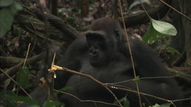 vídeos y material grabado en eventos de stock de female g. g. gorilla drumming her chest with both hands, tropical jungle, congo basin, africa - golpear