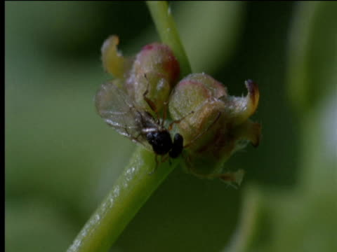 female gall wasp inspects buds for egg laying - parasitic stock videos & royalty-free footage