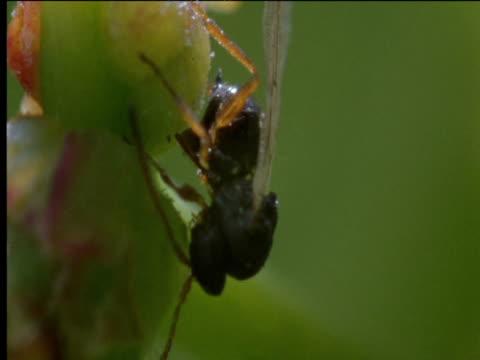 vídeos de stock e filmes b-roll de female gall wasp lays her eggs into buds - parasita