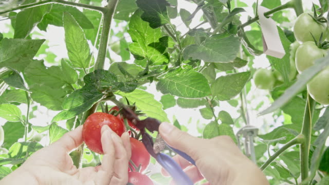 ms female gardener cutting a tomato off a plant - pruning shears stock videos & royalty-free footage