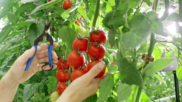 MS Female gardener harvest tomatoes from a plant
