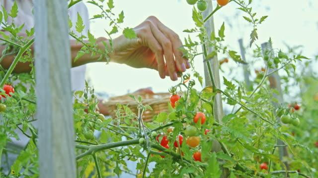 slo mo female gardener picking cherry tomatoes in the sunny garden - cherry tomato stock videos & royalty-free footage