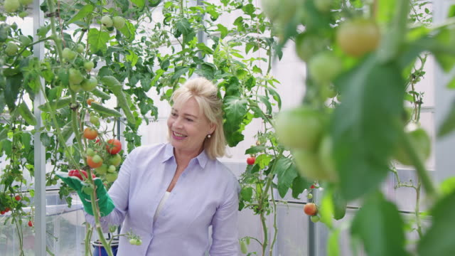 female gardner looking at the tomato plants - formal garden stock videos & royalty-free footage
