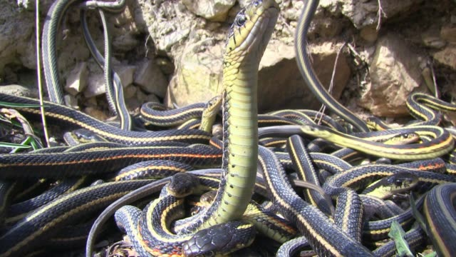 t/l cu female garter snake in mass of mating males - reptile stock videos & royalty-free footage