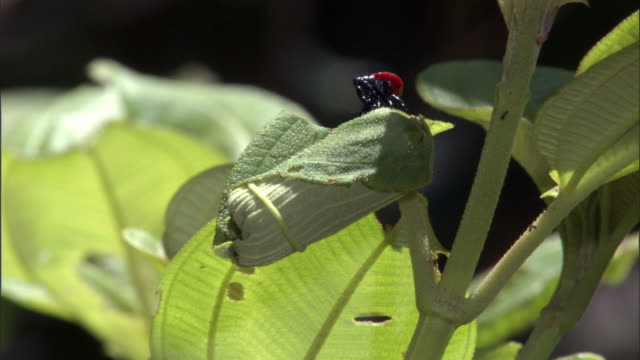 female giraffe weevil (trachelophorus giraffa) beetle detaches rolled leaf containing egg, madagascar - female animal stock videos & royalty-free footage