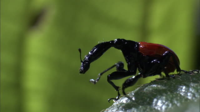 female giraffe weevil (trachelophorus giraffa) beetle grooms on leaf, madagascar - female animal stock videos & royalty-free footage