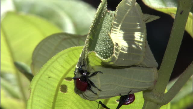 female giraffe weevil (trachelophorus giraffa) beetle rolls leaf for egg, madagascar - female animal stock videos & royalty-free footage
