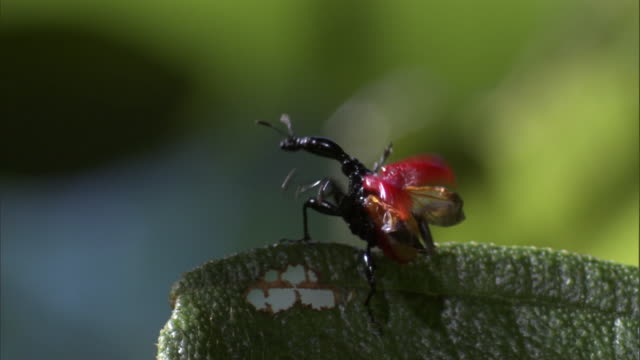 female giraffe weevil (trachelophorus giraffa) beetle takes off from leaf, madagascar - female animal stock videos & royalty-free footage