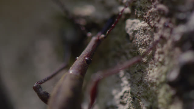 Female giraffe weevil (Lasiorhynchus barbicornis) drills egg laying hole into branch, New Zealand