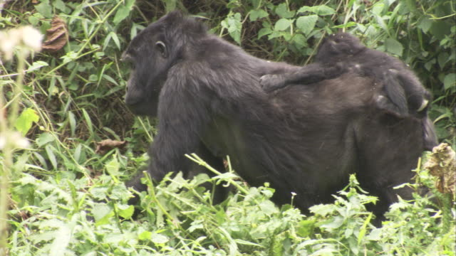 A female gorilla walks through forest while carrying a baby on her back. Available in HD.