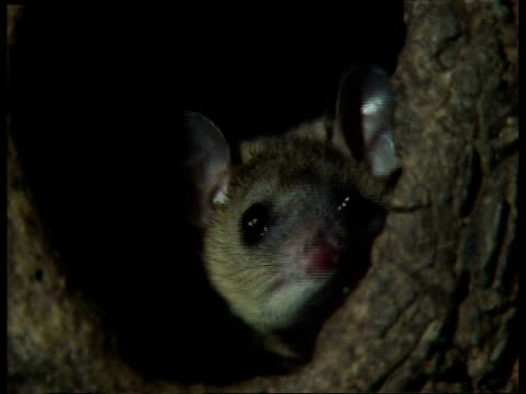 cu female grey short-tailed opossum peeping out of nest in tree trunk - 1991 stock videos and b-roll footage