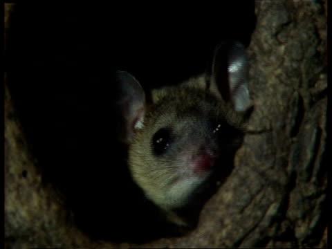 stockvideo's en b-roll-footage met cu female grey short-tailed opossum peeping out of nest in tree trunk - 1991