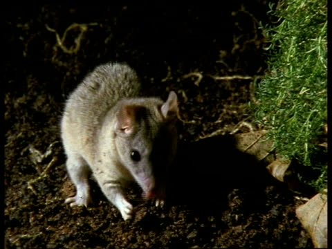 stockvideo's en b-roll-footage met mcu female grey short-tailed opossum sniffing about, foraging - 1991