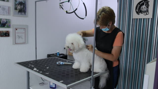 female groomer brushing bichon frise at grooming salon - bichon frise stock videos and b-roll footage
