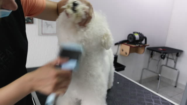 female groomer brushing bichon frise with animal brush at grooming salon - spazzola per capelli video stock e b–roll