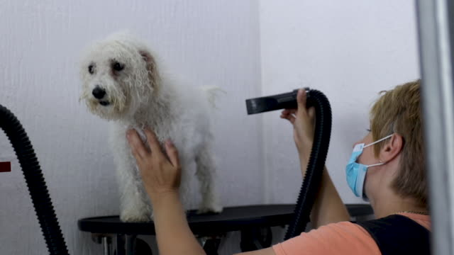 female groomer drying bichon frise's hair at grooming salon - bichon frise stock videos and b-roll footage