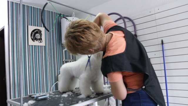 female groomer working in grooming salon with scissors. groomer trimming bichon frise's hair in animal beauty salon - working animal stock videos & royalty-free footage