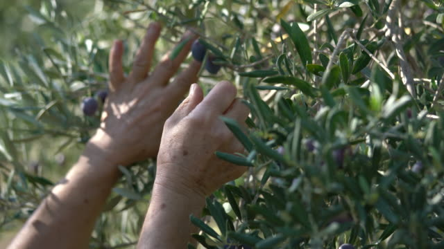 female hand holding an olive branch on the tree - olive oil stock videos & royalty-free footage