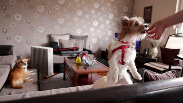 女性の手はクラッカーで犬を養っています。犬はソファの上を歩いている - beautiful people点の映像素材/bロール