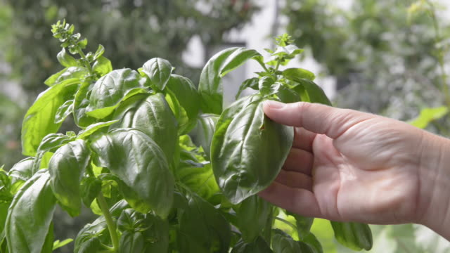 a female hand picking basil leaves ( ocimum ) - basil stock videos & royalty-free footage