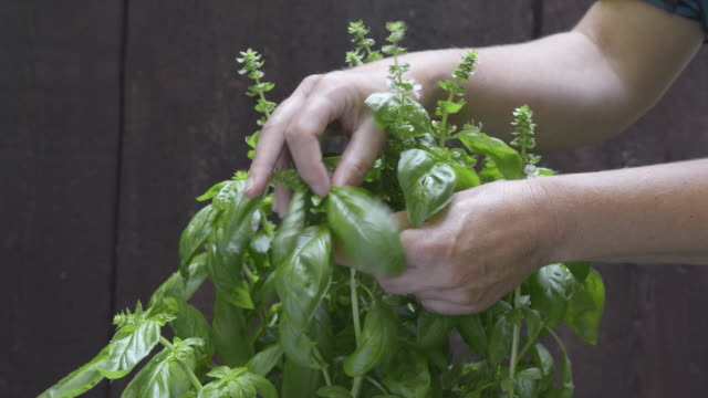 female hands picking basil leaves ( ocimum ) - basil stock videos and b-roll footage