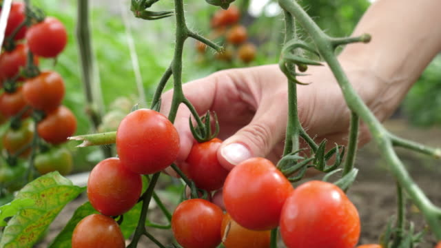 female hands picking fresh tomatoes - picking harvesting stock videos & royalty-free footage