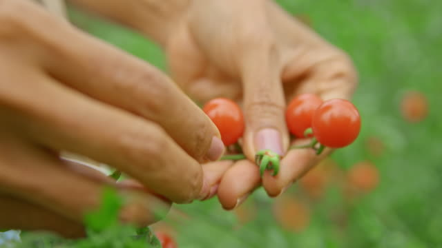 female hands picking ripe fruit from the cherry tomato plant - tomato stock videos & royalty-free footage
