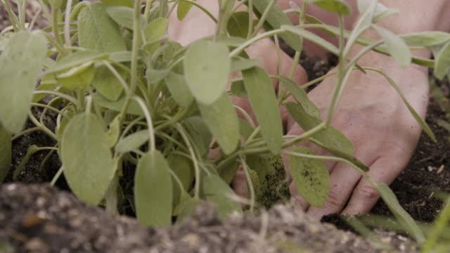 CU of female hands planting sage plant.