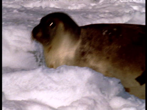 Female harp seal lumbers over ice, rolls onto back then sits up and looks at camera, Magdalen Islands, Canada