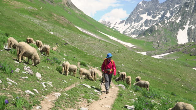 female hiker walk near the sheep's grazing on mountain - flock of sheep stock videos & royalty-free footage