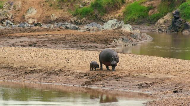 female hippo & calf walk on river bank maasai mara, kenya, africa - echte krokodile stock-videos und b-roll-filmmaterial