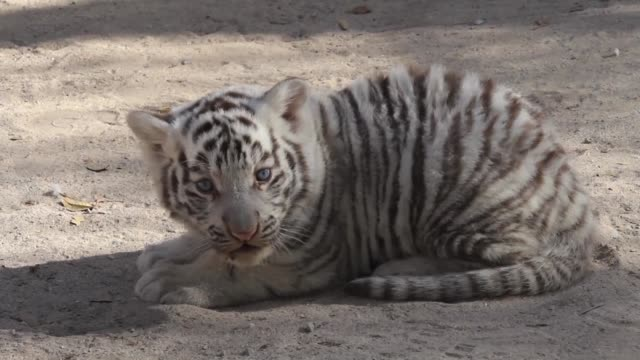 A female hippopotamus born two weeks ago two white tiger puppies and a llama calf are the new inhabitants of the Mexican zoo at Ciudad Juarez