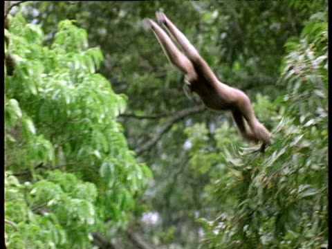 female hoolock gibbon swings and leaps through forest trees, assam - swinging stock videos & royalty-free footage