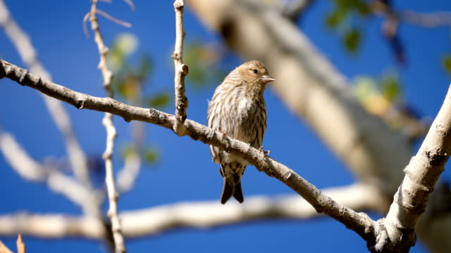 female house finch - songbird stock videos & royalty-free footage