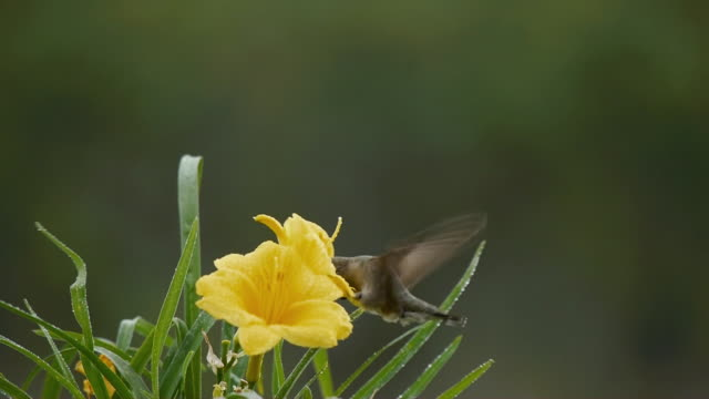 Female Hummingbird feeding from water-laden Yellow Flowers, Texas Hill Country, Stonewall, Texas