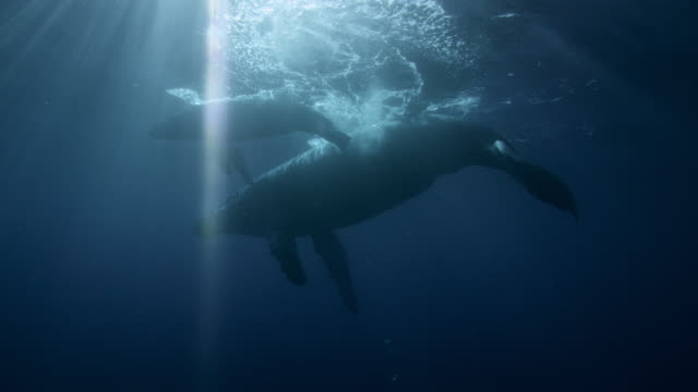 female humpback whale and calf - wal stock-videos und b-roll-filmmaterial