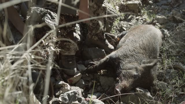 female hunter picks up pig, close up - dead animal stock videos & royalty-free footage