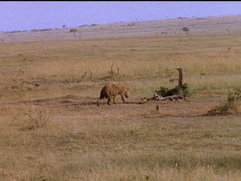 A female hyena checks resting babies on the African grasslands