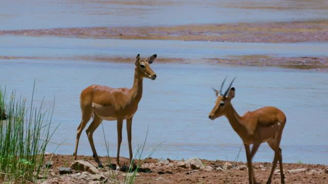 Female Impalas Walking Samburu  Kenya  Africa