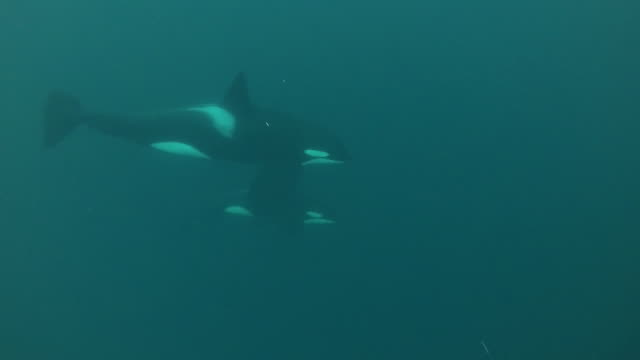female killer whale and her calf swim by, kvaenangen fjord area, northern norway. - hd format stock videos & royalty-free footage