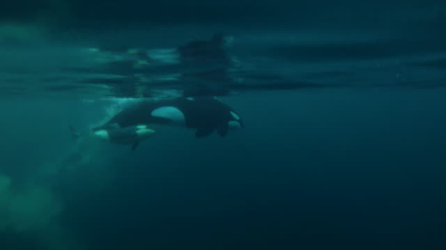 female killer whale sitting vertically near the surface is then joined by her calf and they swim away, kvaenangen fjord area, northern norway. - wal oder delfingruppe stock-videos und b-roll-filmmaterial
