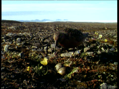 female knot waddles over stony terrain towards two eggs next to a buttercup then sits on eggs, canadian arctic - ranunkel stock-videos und b-roll-filmmaterial
